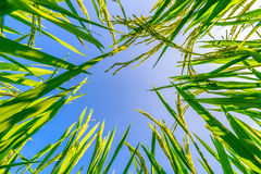 Ear of rice and leaves in the rice fields Stock Images