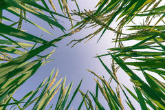 Ear of rice and leaves in the rice fields Stock Photography