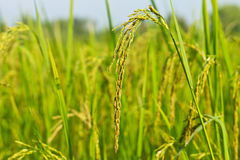 Ear of rice paddy Stock Photo