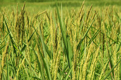 Ear of rice. At paddy field Stock Photography