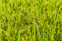 Ear of rice in paddy field Royalty Free Stock Photography