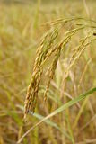 Ear of rice paddy Stock Photography