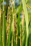 Ear of rice ,Thai rice berry Stock Photos