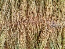 Ear of rice Stock Photos
