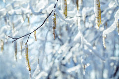 Ear rings on the iced over branch of a birch Royalty Free Stock Image