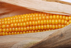 An ear of ripe corn Royalty Free Stock Photo
