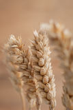 Ear of ripe golden wheat Royalty Free Stock Photography