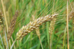 Ear of ripe wheat Royalty Free Stock Photography