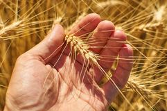 Ripe wheat in a man`s hand Stock Image