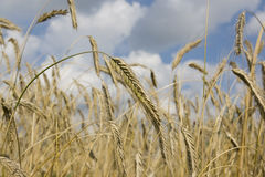 Ear of rye. Ripe ear of rye in the sunny day Royalty Free Stock Image