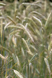 Ear of rye in the field Royalty Free Stock Photography