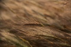 Ear of rye in the field in soft focus. Natural background royalty free stock photo