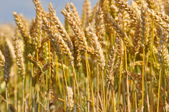 Ear of rye field Royalty Free Stock Photos