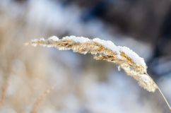 Ear in snow. Royalty Free Stock Photography
