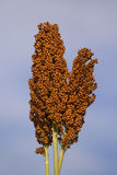 Ear of sorghum. Single panicle of sorghum under blue sky Stock Photo
