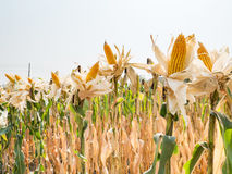 Ear of sweet corn in corn field Royalty Free Stock Photos