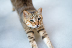 Ear-tipped Cat Stretching Body. Trying to refresh after sleeping Stock Image