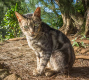 Ear tipped feral cat Stock Images