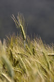 Ear of triticale. Triticale grown for a dairy farm silage crop, Westland, New Zealand Royalty Free Stock Photography