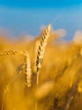 Ear of the wheat. N in blue sky background Royalty Free Stock Photography