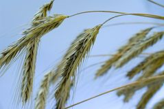 Ear of wheat. Wheat before harvest. Ear of wheat Stock Photos
