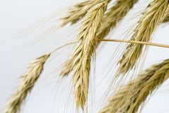 Ear of wheat. Wheat before harvest. Ear of wheat Royalty Free Stock Images