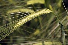 Ear of wheat. Grain field around Verona in Italy Stock Photos