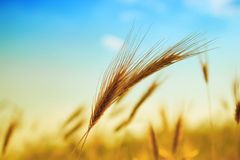 Ear of wheat. Photo of ear of wheat with bright sun and blue sky royalty free stock photos
