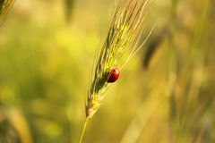 Ear of wheat. Photo of ear of wheat with ladybug on it royalty free stock image