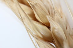 Ear of wheat. Closeup with ear of wheat royalty free stock image