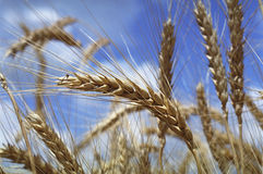 Ear of wheat. Summer stock photography