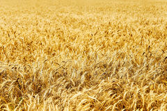 Ear of wheat Royalty Free Stock Images