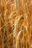 Ear of the wheat Royalty Free Stock Photo
