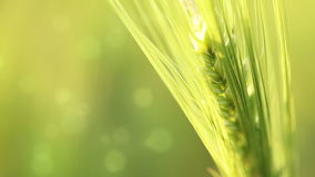 Ear of wheat on an abstract background stock footage