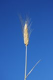 Ear of Wheat Against Clear Blue Sky Royalty Free Stock Images