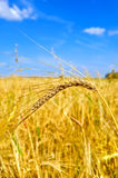 Ear of wheat against the sky Royalty Free Stock Image