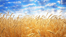 Ear of wheat Stock Photos