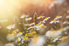 Ear of wheat - beautiful wheat field and wild chamomile daisy flower Royalty Free Stock Image