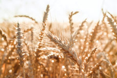 An ear of wheat Stock Photography