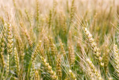 Ear of wheat close up Stock Image