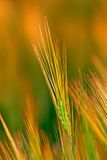 Ear wheat, close-up Royalty Free Stock Photo
