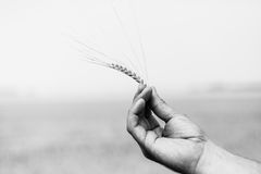 Ear of wheat. close-up. The ear of wheat in man`s hand stock image