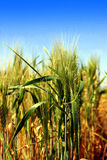 Ear of wheat in the field Royalty Free Stock Image