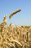 Ear of Wheat on a field Stock Photos