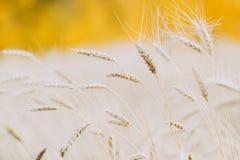 Ear of wheat in a wheat field. Closeup stock photos