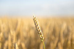 The ear of wheat Royalty Free Stock Photos