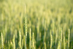 Ear of wheat growing on the field Royalty Free Stock Photos