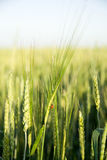 Ear of wheat growing on the field Stock Photography