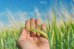 Ear of wheat in hand Royalty Free Stock Photos