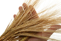 Ear of wheat in hand of baker. Isolated on white background Royalty Free Stock Photo